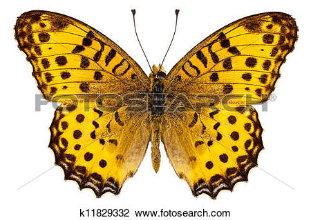 "Stock Photo of Butterfly species Argynnis hyperbius ""Indian."
