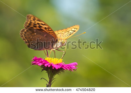 Argynnis Stock Photos, Royalty.