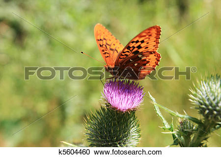 Stock Photography of orange fritillary butterfly on thistle.