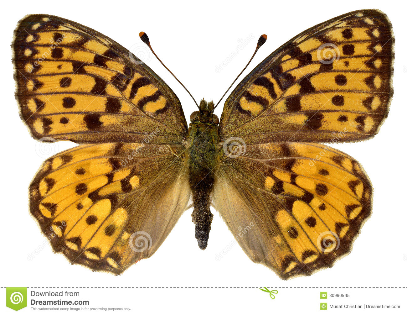 Isolated Dark Green Fritillary Butterfly Royalty Free Stock Photo.