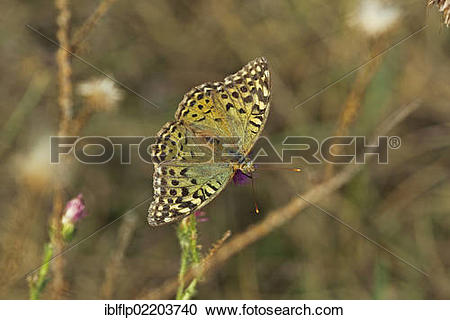 "Stock Photography of ""Cardinal Fritillary (Argynnis pandora."