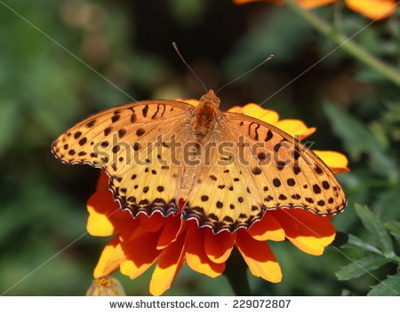 "indian Fritillary"" Stock Photos, Royalty."