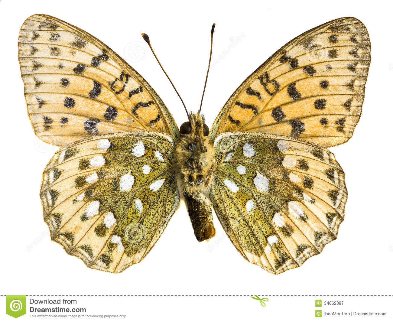 Argynnis Paphia Royalty Free Stock Photography.