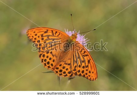 Fritillary Stock Photos, Royalty.