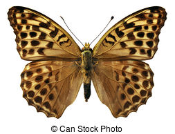 Argynnis paphia Clipart and Stock Illustrations. 5 Argynnis paphia.
