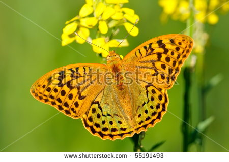 Argynnis Paphia Stock Images, Royalty.
