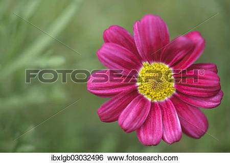 Stock Images of Pink flower of a Marguerite Daisy (Argyranthemum.