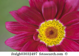 Marguerite daisy Stock Photos and Images. 6,213 marguerite daisy.