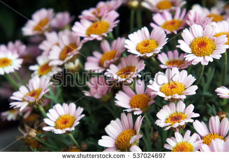 Argyranthemum Stock Photos, Royalty.