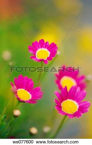 Stock Photography of Bright Pink Marguerite Daisies. Argyranthemum.