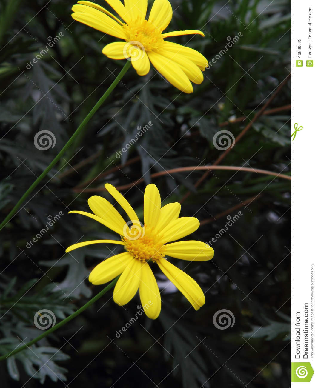 Yellow Garden Chrysanthemum (Argyranthemum Frutescens) Stock Photo.
