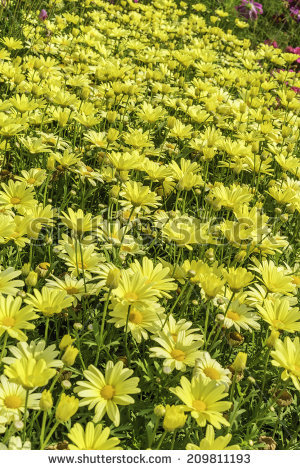 Argyranthemum Frutescens Stock Photos, Royalty.