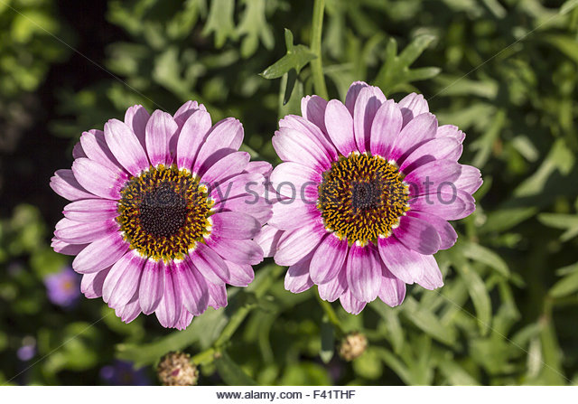 Marguerite Chrysanthemum Stock Photos & Marguerite Chrysanthemum.