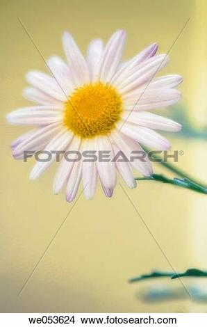 Stock Photo of White Marguerite Daisy. Argyranthemum frutescens.