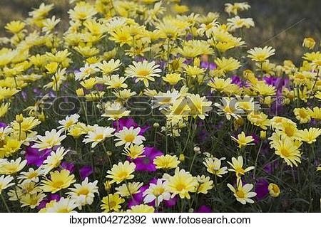 Stock Photo of Strauchmargerite (Argyranthemum frutescens), gelbe.