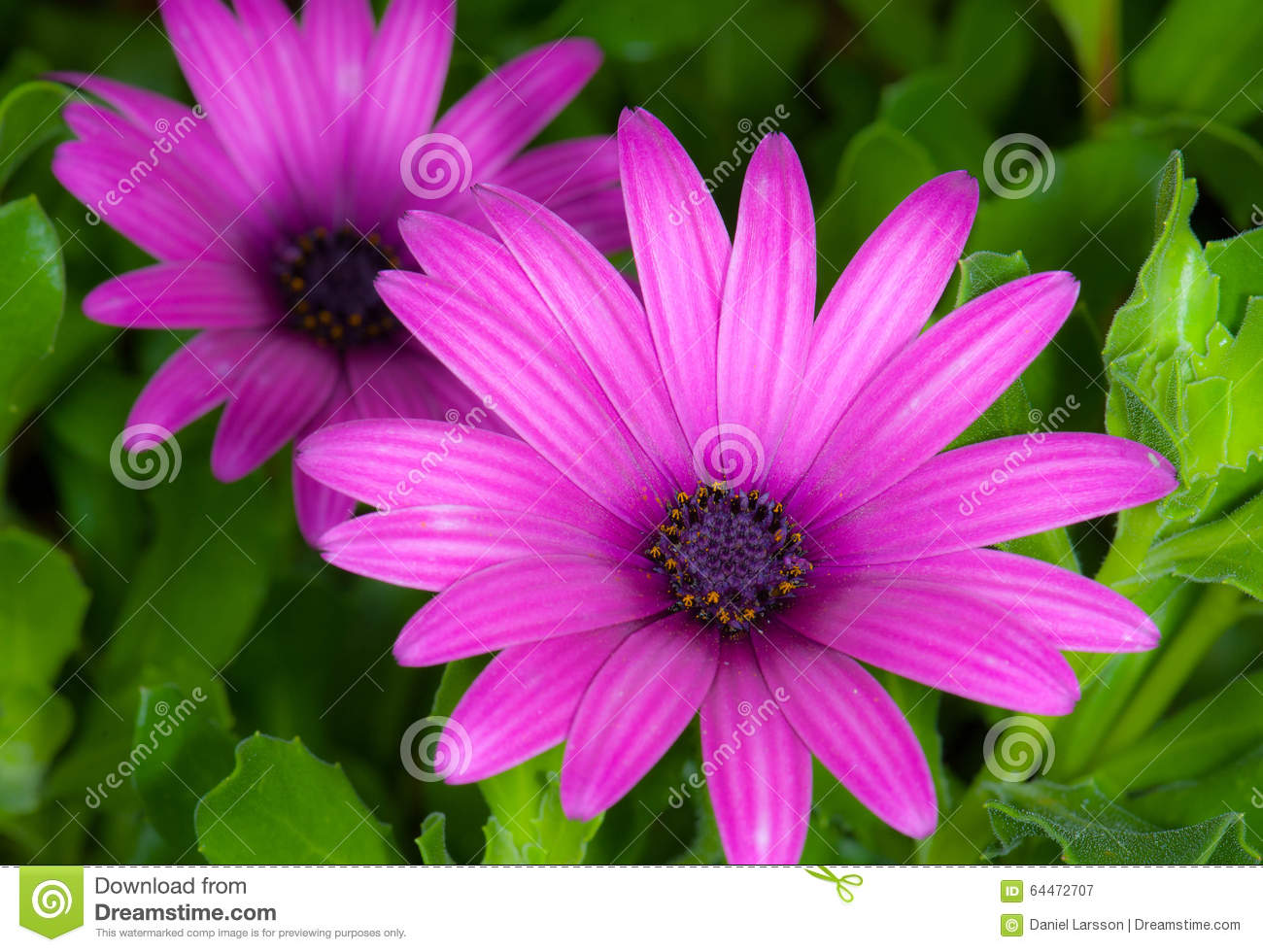 Purple Daisies, Argyranthemum Frutescens 3 Stock Photo.