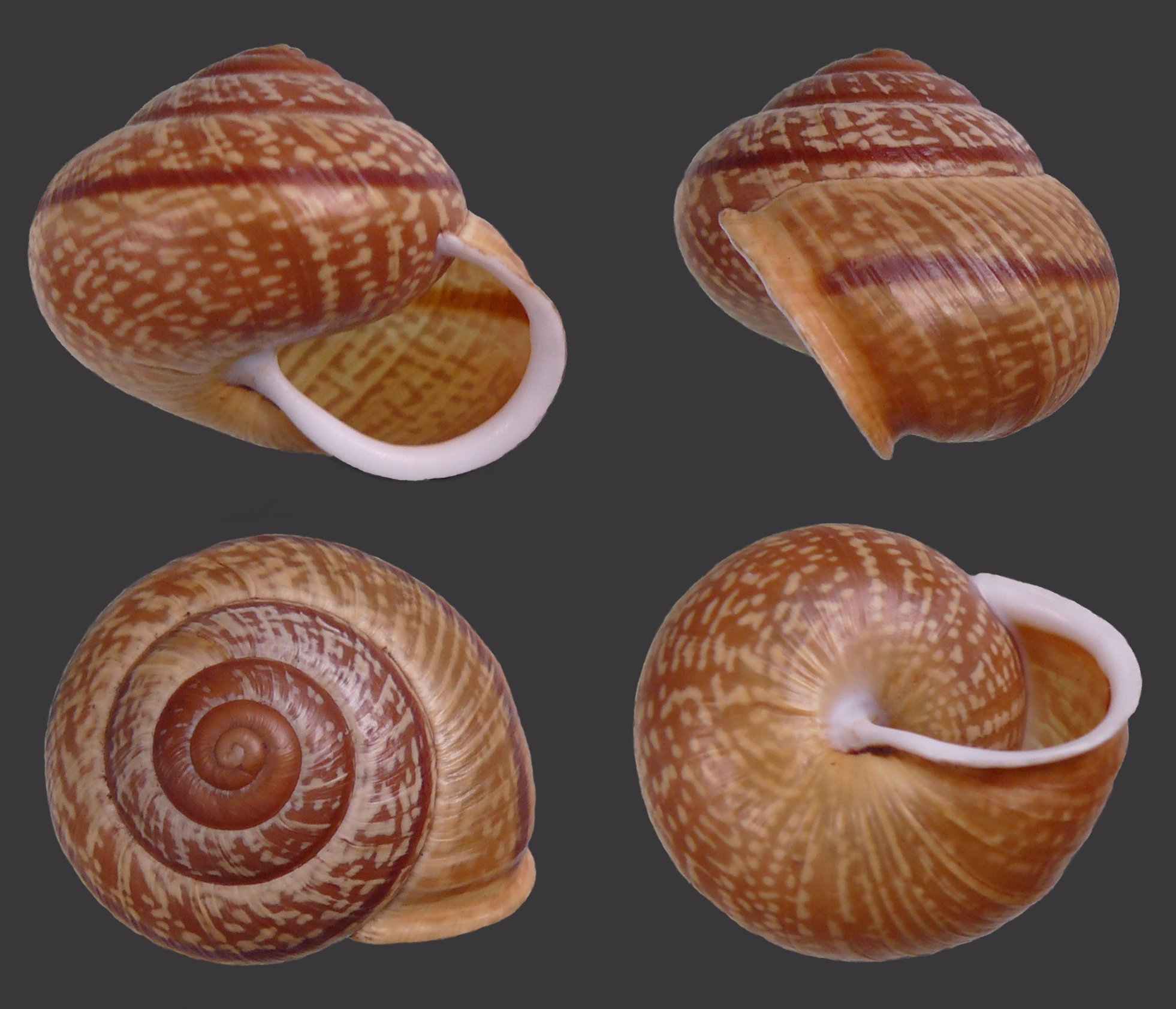 Four views of a shell of Arianta arbustorum: Apertural view of.