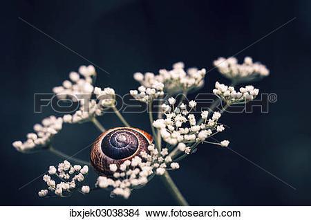 Stock Photo of Copse Snail (Arianta arbustorum) on an umbel.