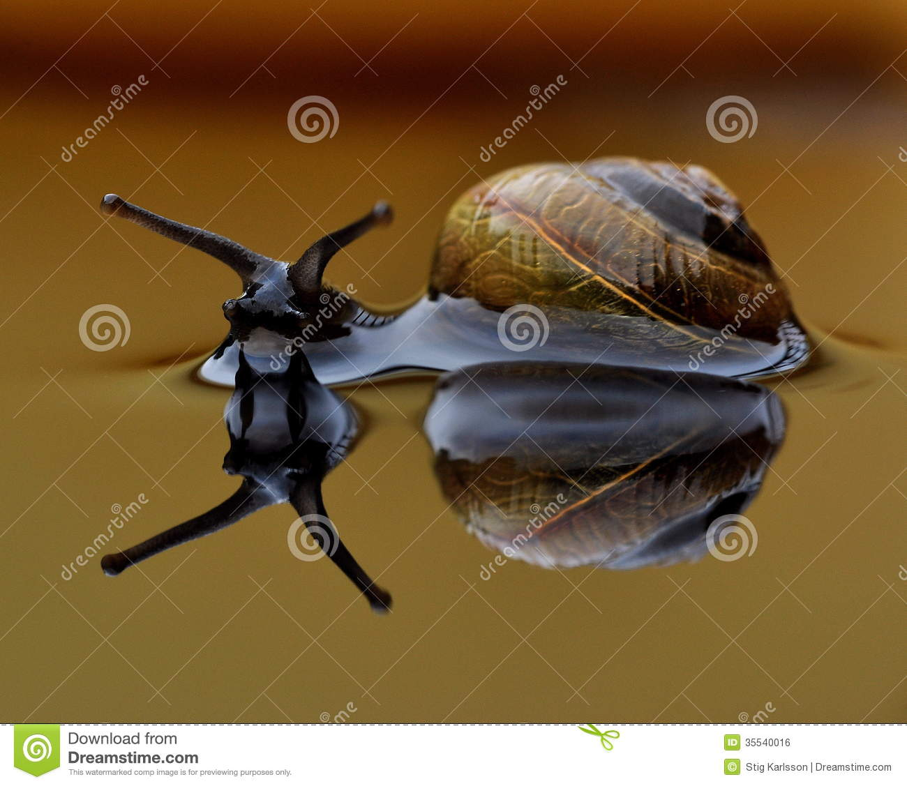 Home Sweet Home, Snail Arianta Arbustorum Royalty Free Stock Image.