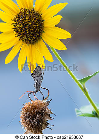 Pictures of Wheel bug (Arilus cristatus) on sunflowers.
