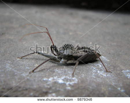 Assassin Bugs Stock Photos, Royalty.