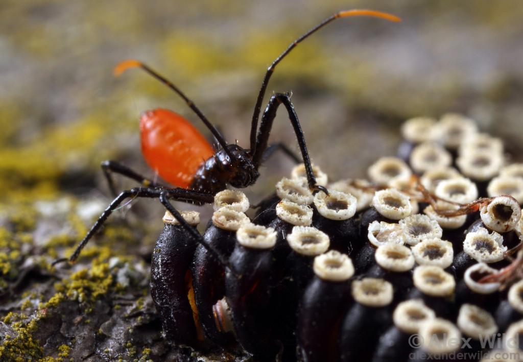 Arilus cristatus (Reduviidae) wheel bug nymph and hatching egg.