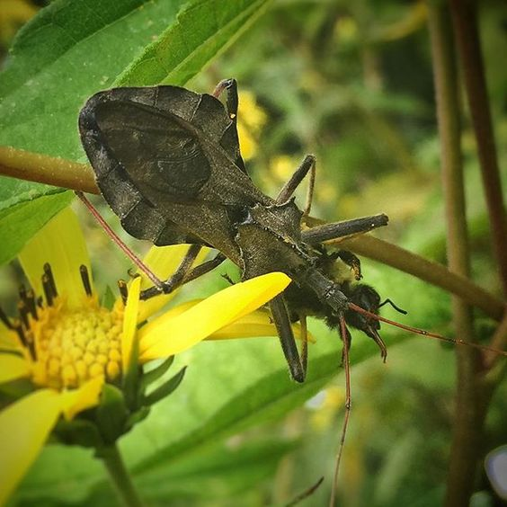 We spotted this wheel bug (Arilus cristatus) in our display garden.