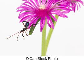 Pictures of Wheel bug (Arilus cristatus) on sunflower.