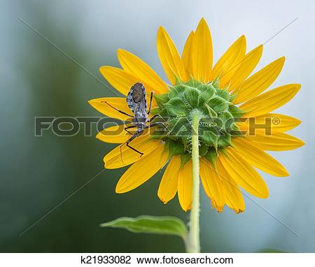 Stock Photo of Wheel bug (Arilus cristatus) on sunflower k21933082.
