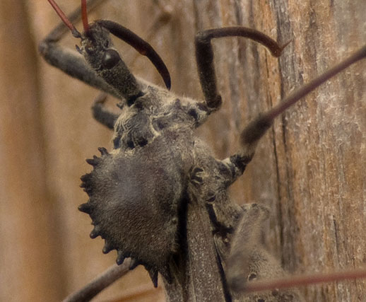 Wheel bug; it's an Assassin Bug, viz., Arilus cristatus. They are.