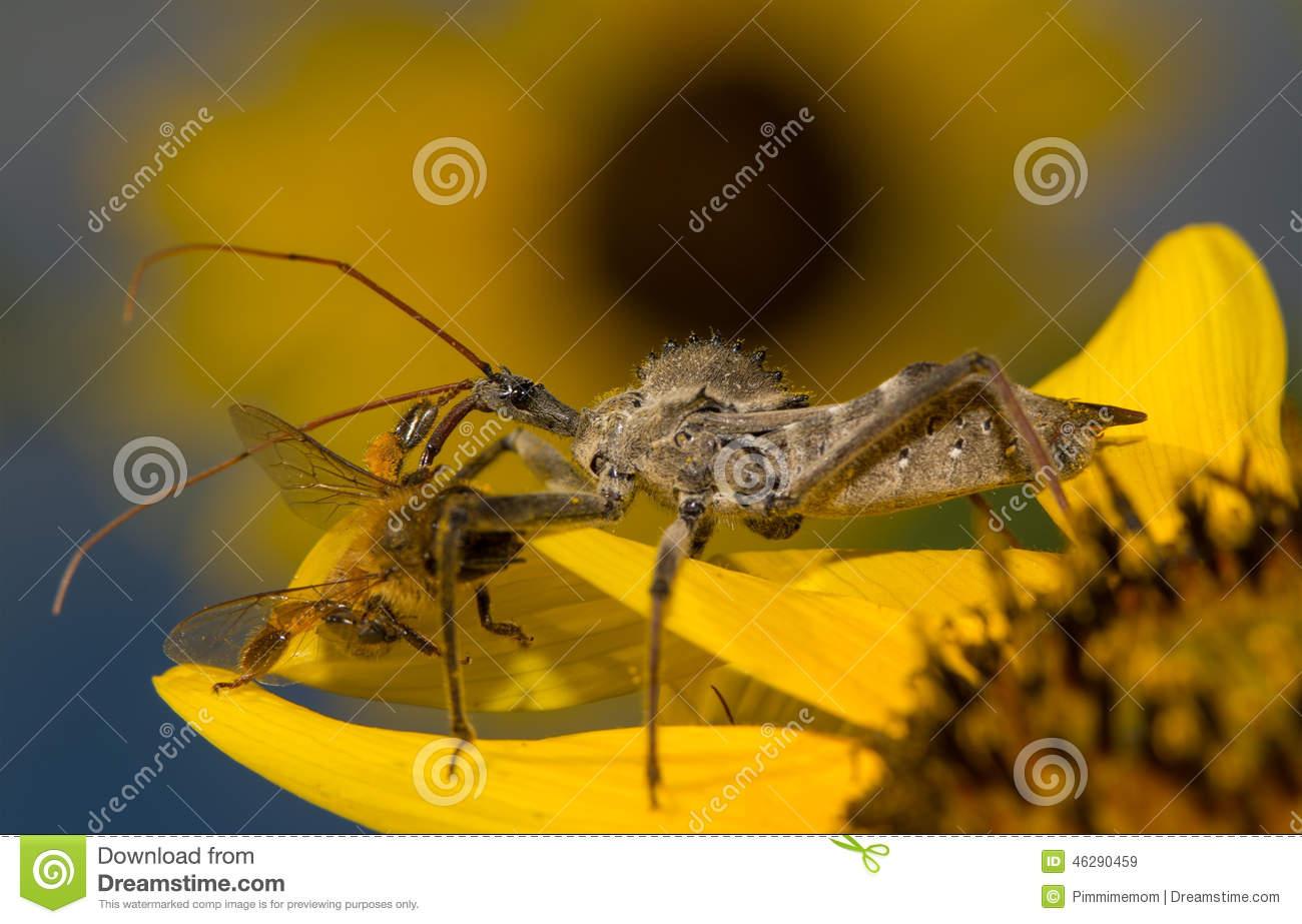Wheelbug, Arilus Cristatus, On A Sunflower Stock Photo.