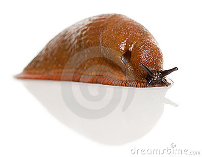 Red Slug, Arion Rufus Royalty Free Stock Images.