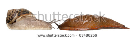 Leopard Slug Limax Maximus Front White Stock Photo 89517547.