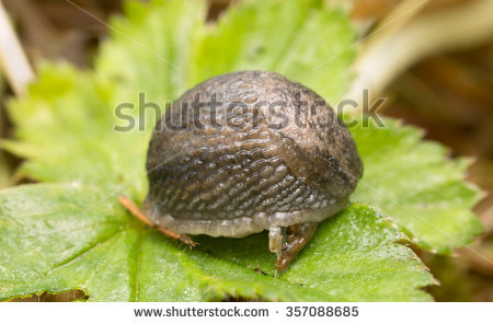 Arionidae Stock Photos, Images, & Pictures.