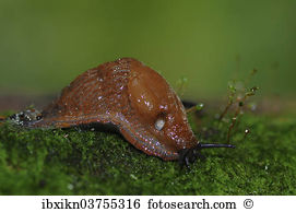 Arionidae Images and Stock Photos. 49 arionidae photography and.