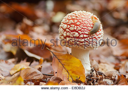 Fly Agaric Stock Photos & Fly Agaric Stock Images.