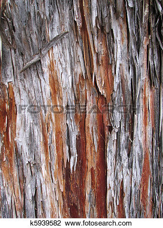 Stock Photo of Arizona cypress bark k5939582.