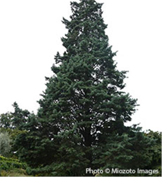 Buy affordable Arizona Cypress trees at our online nursery.
