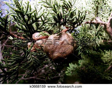 Stock Photograph of Cypress Tree Seed Pod k0668159.