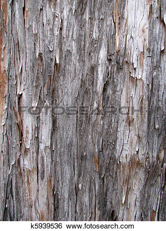 Stock Images of shaggy Arizona cypress bark k5939536.