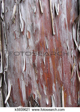 Stock Photography of peeling Arizona cypress bark k5939621.