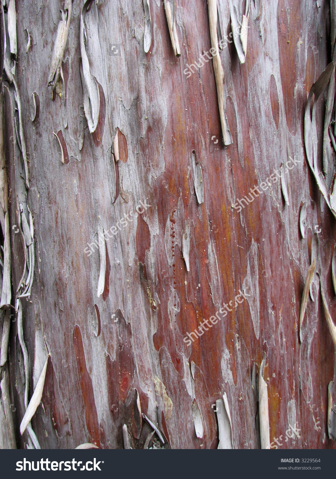 Peeling Arizona Cypress Cupressus Arizonica Bark Stock Photo.