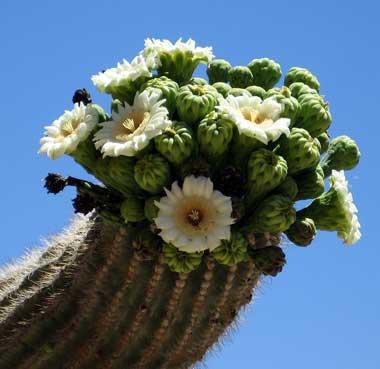 Arizona State Flower.