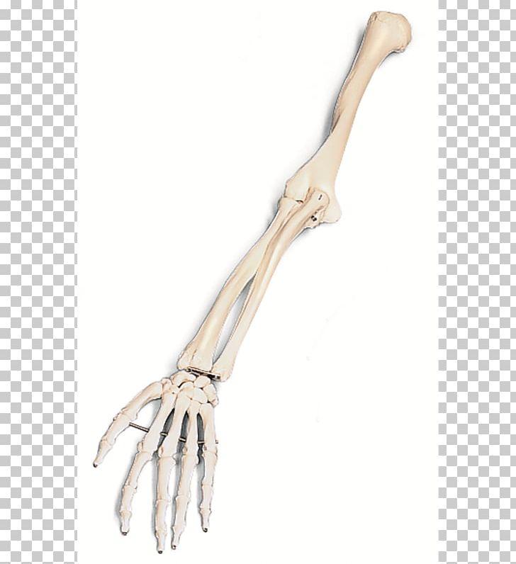 Arm Human Skeleton Bone PNG, Clipart, Anatomy, Arm, Bone.