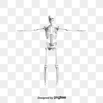 Arm Bones Transparent Background.