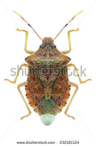 Shieldbacked Bug Eurygaster Maura On White Stock Photo 77825281.