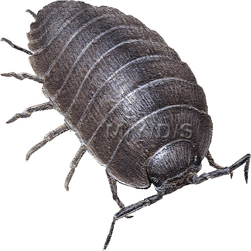 Pill Bug Clipart.