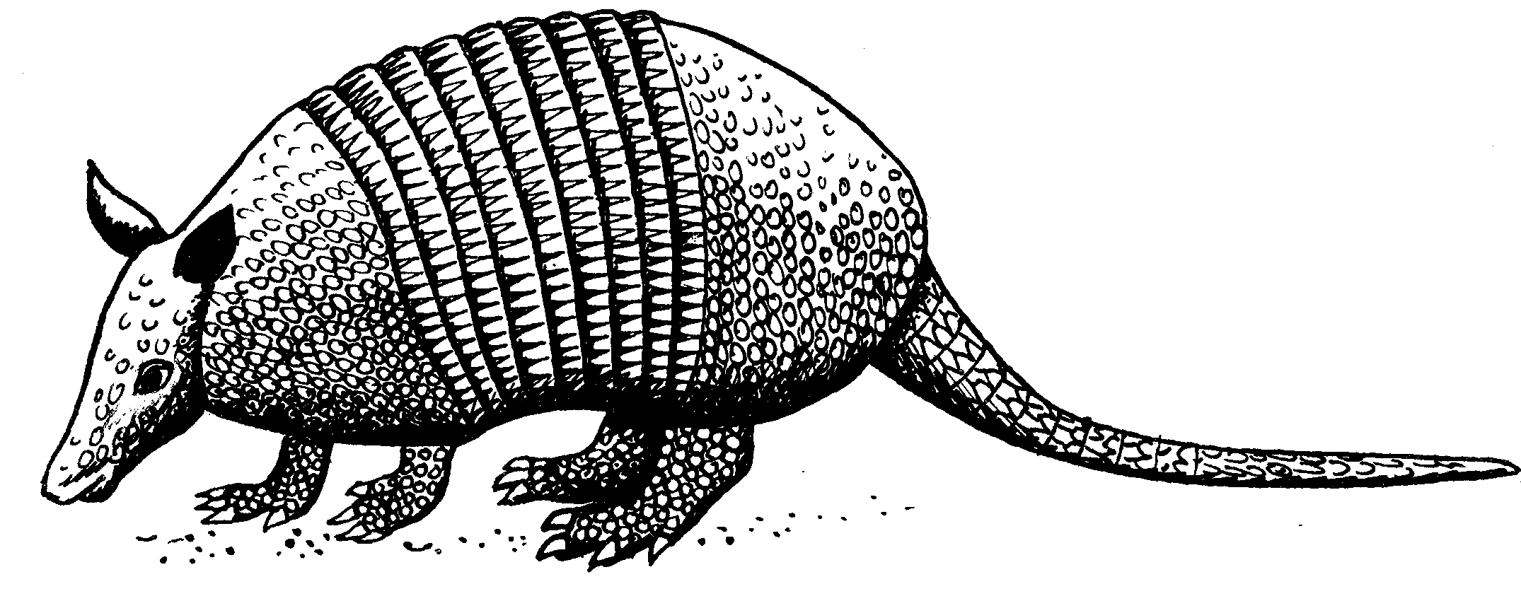 Armadillo Png Black And White & Free Armadillo Black And White.png.
