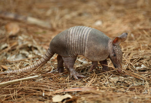 12 Odd Facts and Stories About Armadillos.