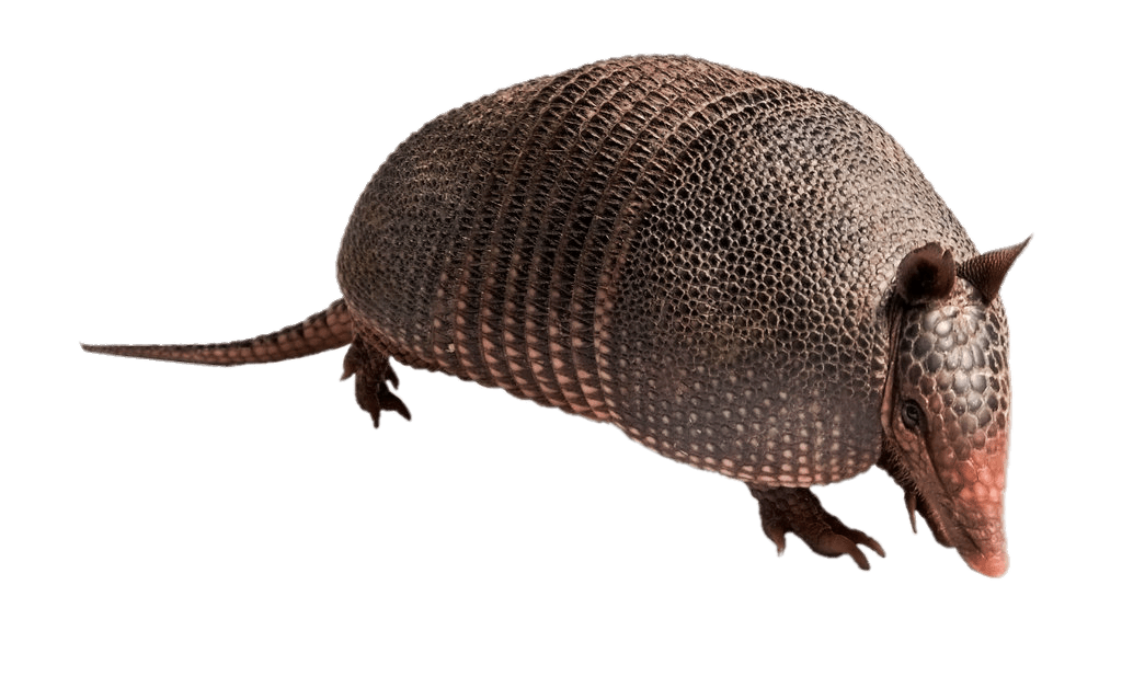 Armadillo transparent PNG.
